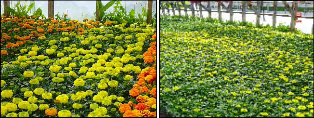 Marigold plants using Hexahedron 999 Biophoton Structured Water